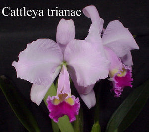 Cattleya trianaei color division (BR)