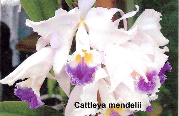Cattleya mendelii albescens x self (2