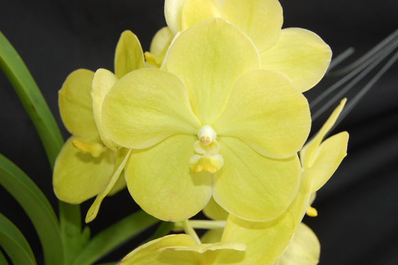 Vanda Somsri Gold 'Pachara No. 3'  (4