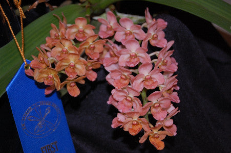 Rhynchostylis gigantea Orange (4