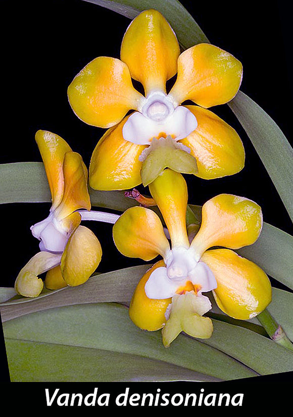 Vanda denisoniana 'Yellow' x denisoniana 'Shinenton '(3