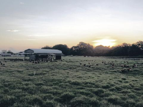 chickens in the pasture at sunset
