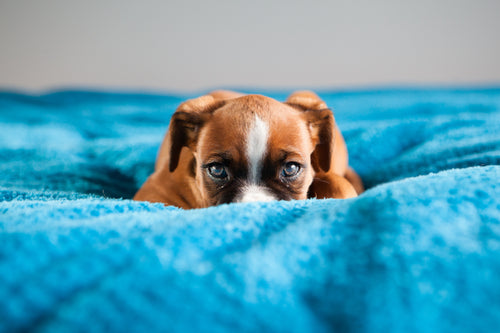 3 CBD Treats to Chill Out Your Puppy
