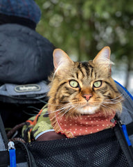 Mr Bingley Mainecoon cat in backpack