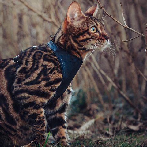 Wild piccolo cat harness