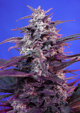 Bloody Skunk Auto 3+1 - De La Buena Growshop