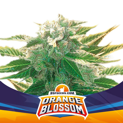 Orange blossom XXL auto X2