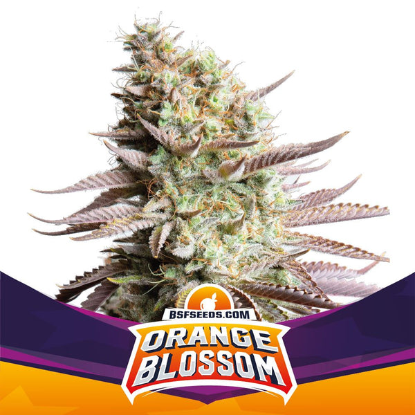 Orange Blossom Feminizada X2