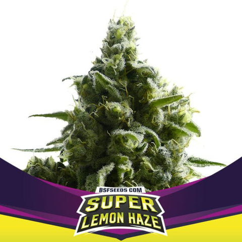 Super Lemon Haze Feminizada X2