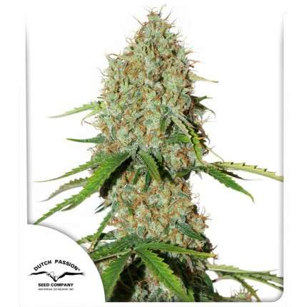 Promo 1 con Brooklyn sunrise auto x3 Dutch passion