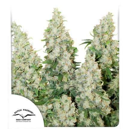 Promo 2 con Think Different auto x3 Dutch passion