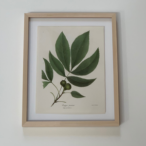 antique botanical lithograph, pig-nut hickory
