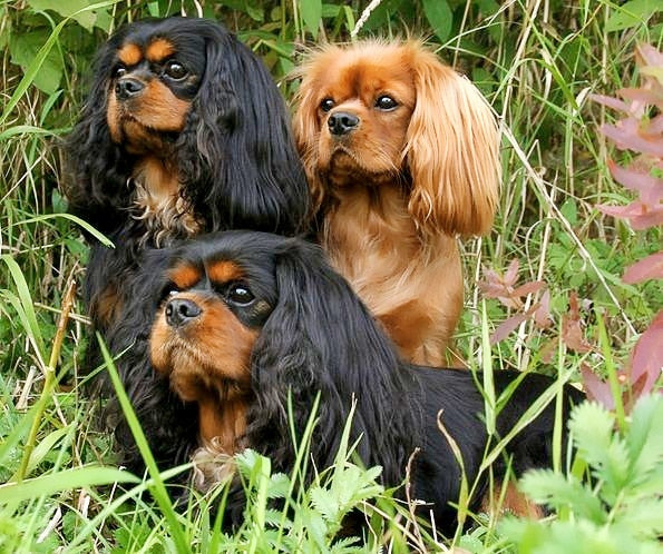 Cavalier King Charles Spaniel 5D DIY Paint By Diamond Kit