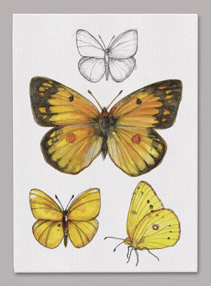 Orange Sulphur Butterfly 5x7 inch Canvas displaying sketched & colorfully illustrated Orange Sulphur Butterflies
