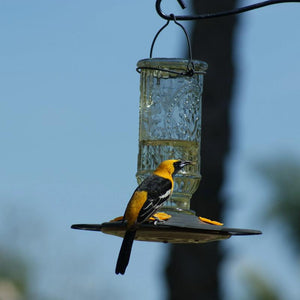 Vintage Bottle Oriole Feeder 20 oz displayed with Hooded Oriole feeding at it