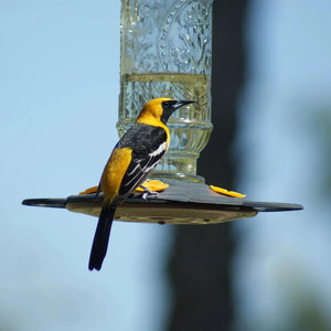 Zoomed in image of the Vintage Bottle Oriole Feeder displayed with a Hooded Oriole feeding at it