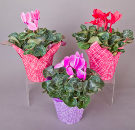 Cyclamen Assorted w/citron cover