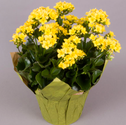 "6.5"" KALANCHOE YELLOW w/citron cover"