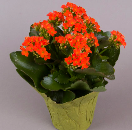 "3.5"" KALANCHOE orange w/citron cover"