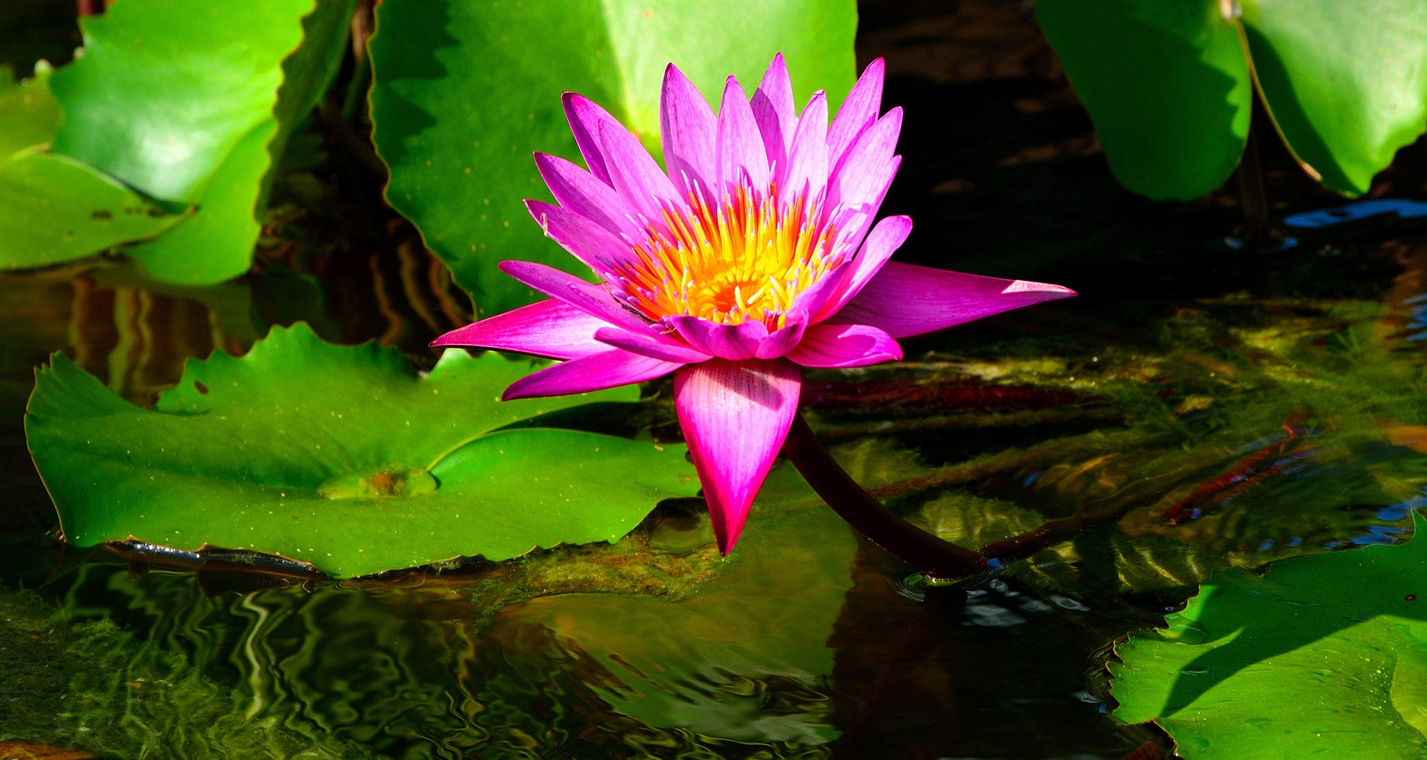 Growing Waterlilies - Top tips from the experts