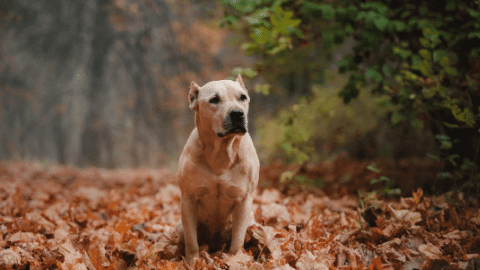 american pitbulls are a great breed to take on a hike with