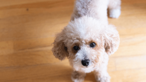 White Toy Poodle Fed Healthy Fresh Dog Food