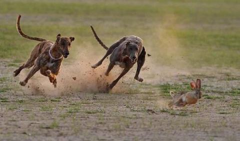 Dogs Hunting Prey