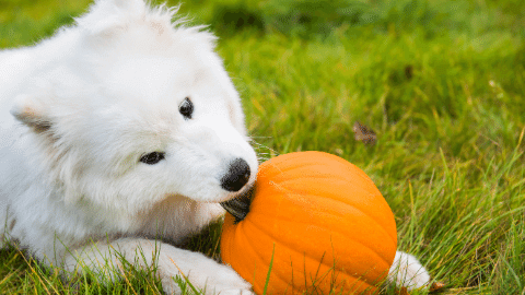Somoyed Dog Eating Pumpkin In Green Grass Field (comp)