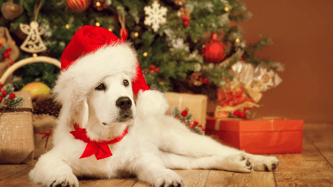 White fur dog in christmas hat and bow around the neck celebrating the holidays