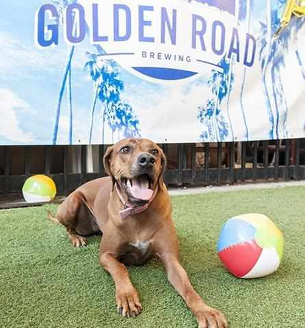 Golden Road Dog Friendly Brewery In OC