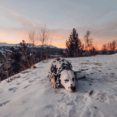 adorable dalmation on instagram