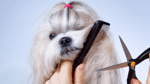 Long hair dog being groomed with scissors and comb