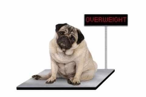 Overweight dog that needs to change to a healthier diet