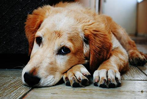 Golden retriever with an upset stomach