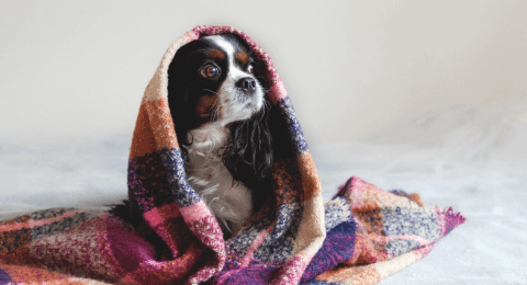Small dog with black and white fur under a blanket showing fever sign of salmonella