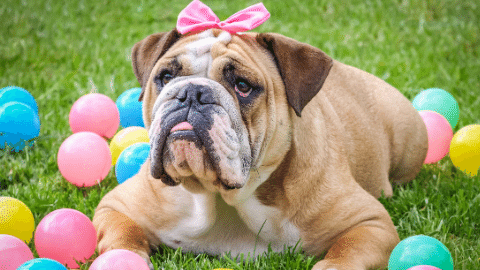 brown and white bulldog with tongue out and pink bow