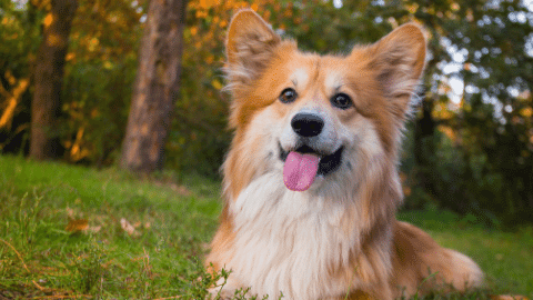 cream and beige corgi in nature with trees