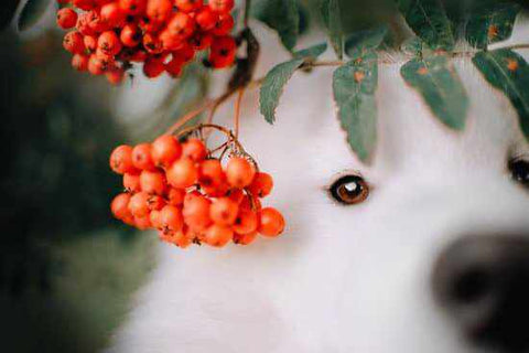 Safe Berries for dogs