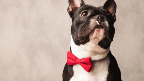 black and white french bulldog with red bowtie