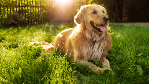 long haired golden retriever laying in grass