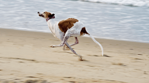 Greyhounds are breeds great as a running buddy