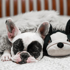 Lilypandapup instagram french bulldog white and black