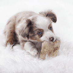 image of puppy chewing cooked bones that are dangerous