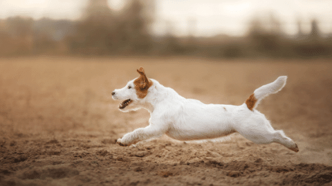 russel terrier running quickly through the field