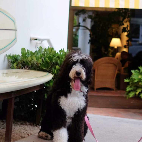 laguna beach dog friendly hotel