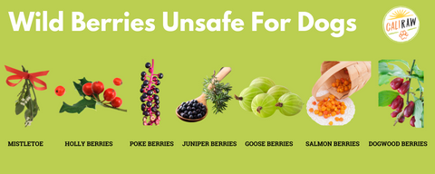 toxic berries for dogs