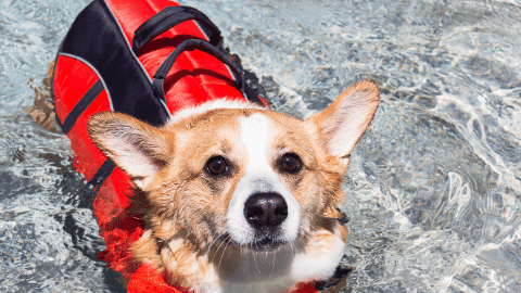 Welsh corgi swimming in a lake with a red life jacket