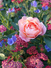 Gardening Consultation: Roses and other ornamental flowers