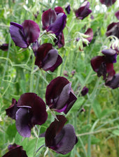 Almost Black Sweet Pea