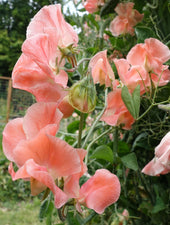 Apricot Queen Sweet Pea Flowers